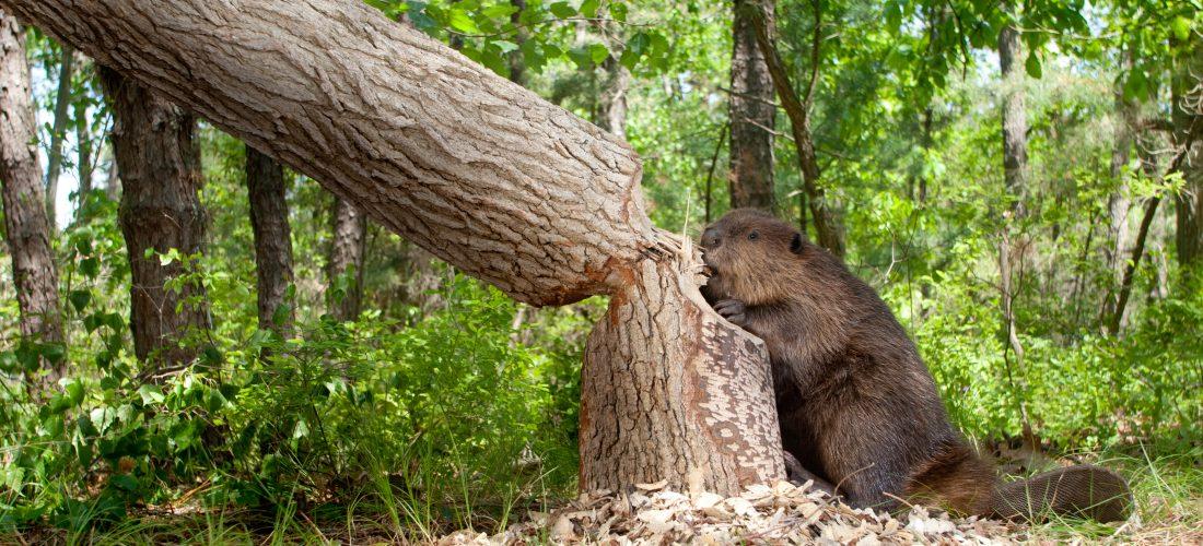 Ein Biber fällt einen Baum